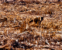 _MG_0301 Coyote Question