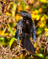 _MG_5341 Groove Billed Ani 11142010