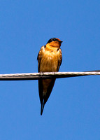 _V5B6786 Barn Swallow
