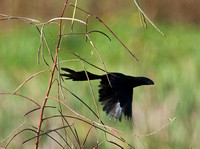 The Groove-Billed Ani