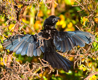 _MG_5291 Groove-Billed Ani 11142010