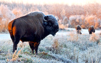 IMG_0416 Frosty the Bison