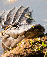 Gators and other Reptiles