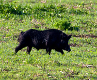 _MG_0016 Arrogant Pig