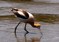 _MG_0067 Avoceting