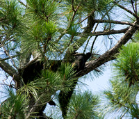 Birdwatchers Beware - Large Bears Hide in Trees!
