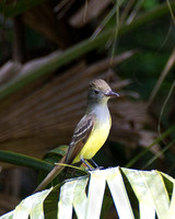 0426_5304 Flycatcher