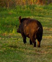 _MG_4538 Pig on Trail