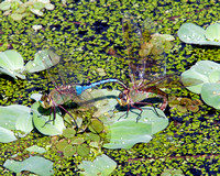 Mating Dragonfly