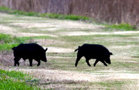 _MG_0036 ID Shot Two Feral Boars